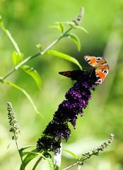 Garten,Sommerflieder,Schmetterlingsflieder