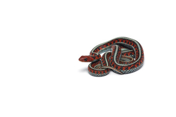 Eastern Garter Snake isolated on white background