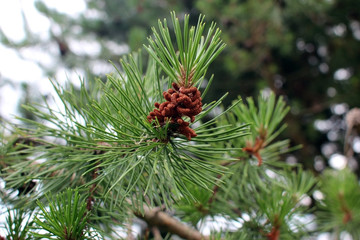 Cedar pine. Branch of pine with inflorescence.
