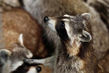 Portrait of lotor common raccoon.