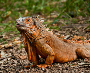 The portrait of iguana