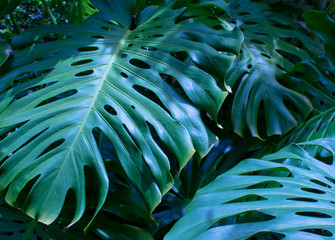 Exotic tropical leaves, close up, blue tint.