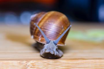 Large grape snail crawls on board