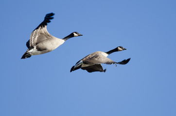 Two Canada Geese Flying in a Blue Sky
