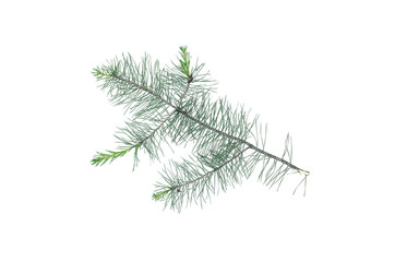 Green pine spruce tree branch isolated on white background.