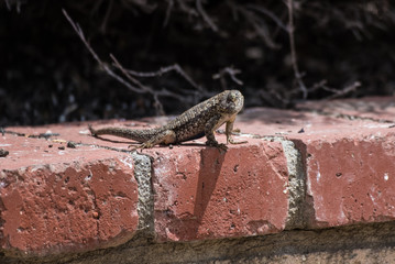 Backyard lizard enjoying the sun with head turned to allow scaled cheek to feel the warmth