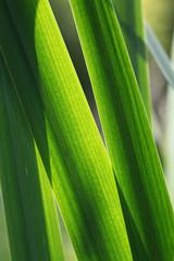 Blätter einer Sumpfschwertlilie, Iris pseudacorus