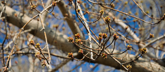 Young Maple buds on the background of vibrant blue sky. Beautiful spring scene.