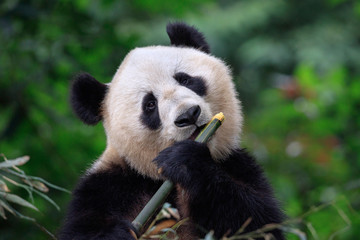 Wall Mural - Panda Bear Enjoying/Eating Bamboo, Bifengxia Panda Reserve in Ya'an - Sichuan Province, China. Panda looking at the viewer and holding a large chunk of Bamboo. Endangered Species Animal Conservation