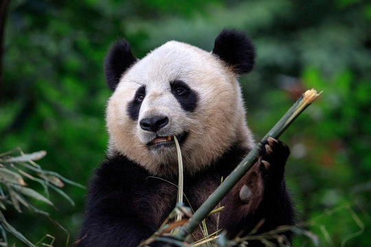 Panda Bear Eating Bamboo for Lunch. Bifengxia Panda Reserve - Ya'an, Sichuan Province China. Panda looking away from the viewer while biting a stick of Bamboo. Endangered Wildlife Conservation