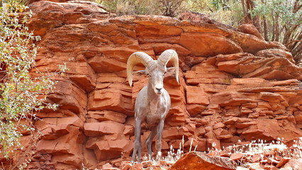 Desert bighorn sheep on a mountainside in the Grand Canyon.