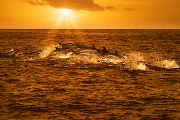 Pod of dolphins traveling in the ocean