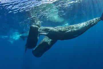Ocean wildlife whales underwater