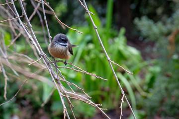 Little fantail bird flits between branches in a winter garden