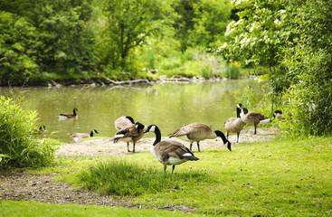 Flock of wild geese on the shore of the creek