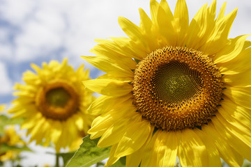 Sunflower blooming in full bloom