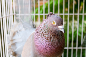 Red pigeons in a cage | Asian Bird | Indonesian Bird