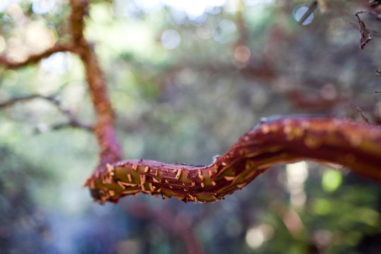 Manzanita Branch Fork with Red Peeling Bark