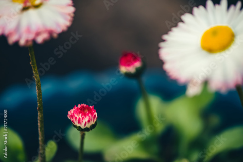 Beautiful daisies with rich green leaves grow in blue flower bed beautiful daisies with rich green leaves grow in blue flower bed close up small white mightylinksfo