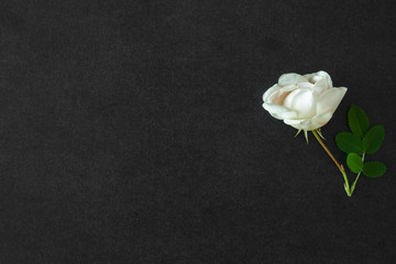 Fresh, white rose on the black, dark background. Condolence card. Empty place for emotional, sentimental text or quote.