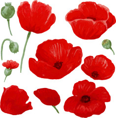 Red poppies on a white background. Flower buds.