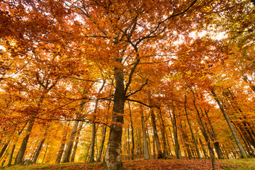 Beautiful, autumn , beech forest full of colors.Pomerania ,Poland