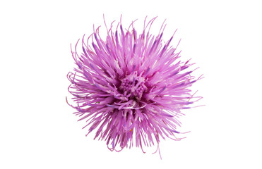 Thistle flower isolated