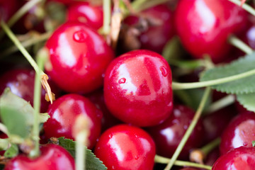 Shiny fresh cherry fruit with leaves and stems