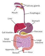 Human Digestive System Gut Gastrointestinal Tract