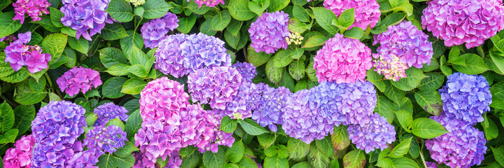 Pink and blue hydrangea flowerbed in a garden