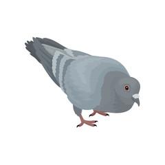 Grey urban pigeon bird vector Illustrations on a white background