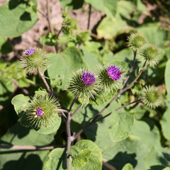 Plants: Blooming burdock at the edge of a maize field in early July
