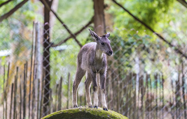 goral on the zoo
