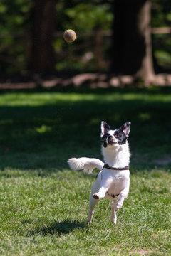 Cane bianco e nero nel parco che gioca a prendere la pallina da tennis gialla
