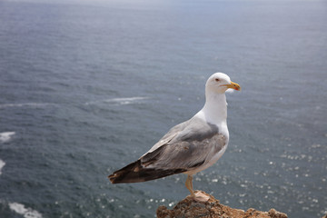 Yellow-legged Gull (Larus michahellis) at Algarve Coast. Portugal