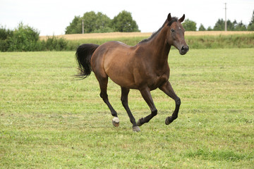 Wall Mural - Amazing brown horse running alone