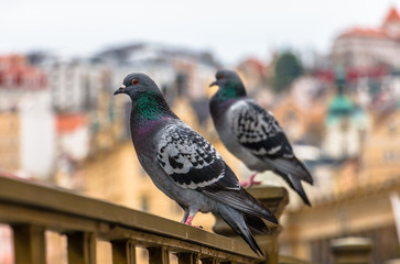 Close-up of feral pigeons perching on a railing in Karlovy Vary. Columba livia domestica or street dove, city bird concept.