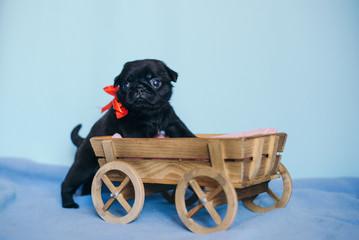 puppy pug dog