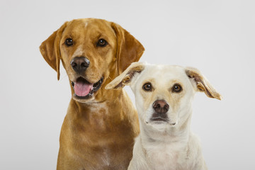 Couple of two expressive dogs posing in the studio against white background