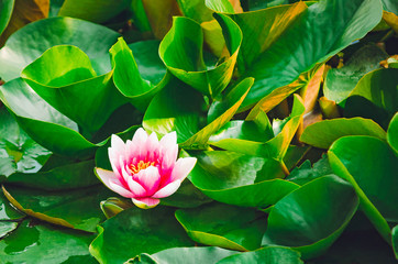Water pink lily among green leaves.