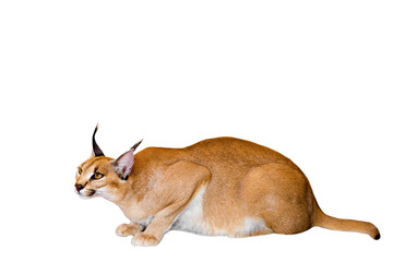 Caracal cat,kitty 8 month isolate on background,copy space, technical closed up.