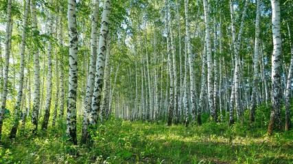 Photo sur Plexiglas Bosquet de bouleaux Birches, landscape, nature.