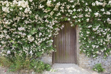 Rose covered garden wall, Cotswolds, England