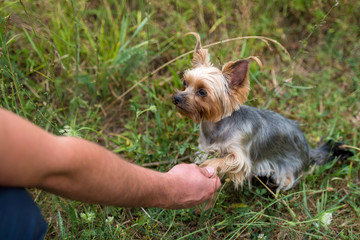 Cute small yorkshire terrier dog sitting on green grass and giving paw shake to owner outdoor, closeup. Animal friendship, free space. Man holding the paw of yorkie at park in summer