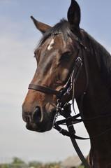 koń, horse