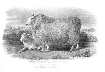 An engraved illustration of the Romney Marsh Breed from a vintage book Encyclopaedia Britannica by A. and C. Black, vol. 2, of 1875.