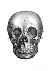 An engraved illustration of the skull from a vintage book Encyclopaedia Britannica by A. and C. Black, vol. 2, of 1875.