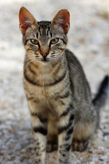 Feral grey-brown striped cat in the countryside