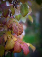 Raspberry leaves.