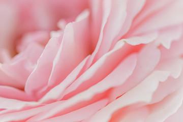バラの花びらアップ横アングル
